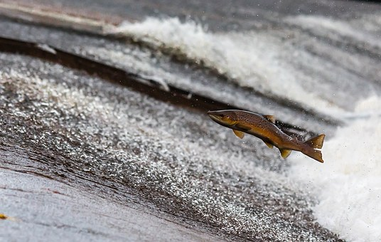 salmon-jumping up a salmon run
