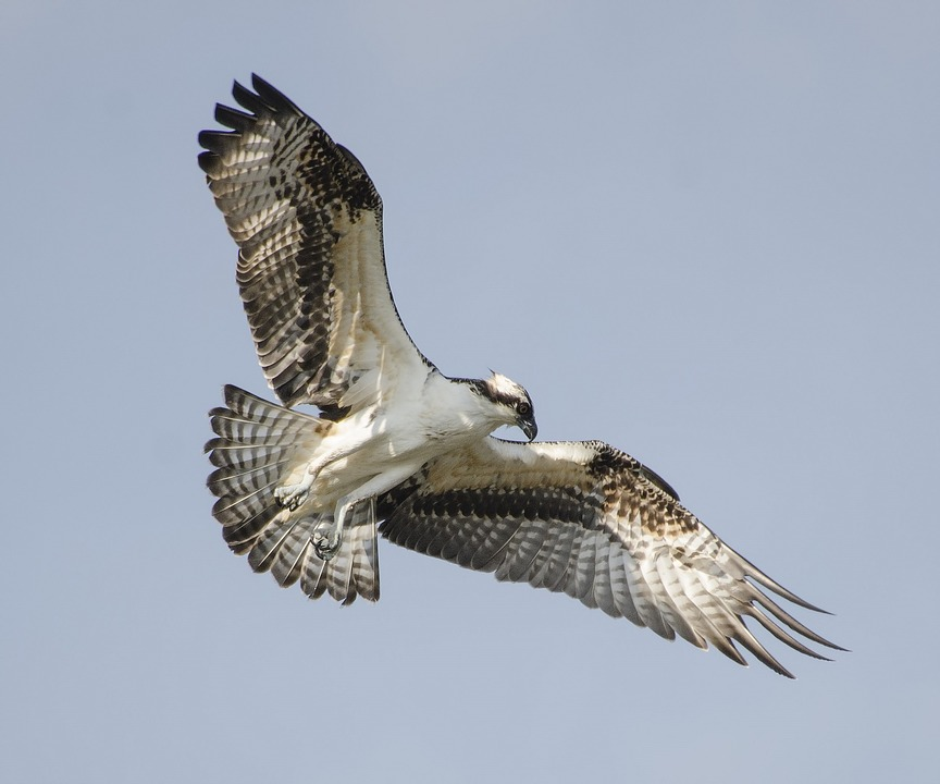 Osprey with spread wings