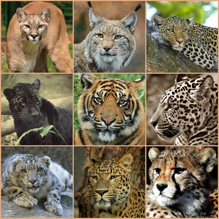 big-cats-collage